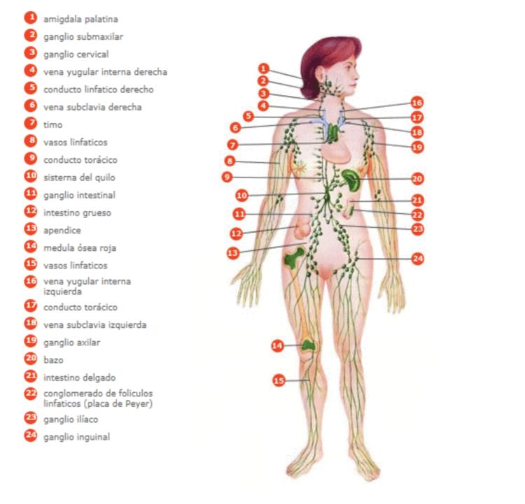 ¿Qué es el sistema linfático?
